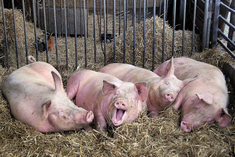 ВЧувашии продолжают сжигать трупы свиней